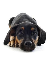 clinique v t rinaire de l 39 espoir villars la parvovirose du chien. Black Bedroom Furniture Sets. Home Design Ideas